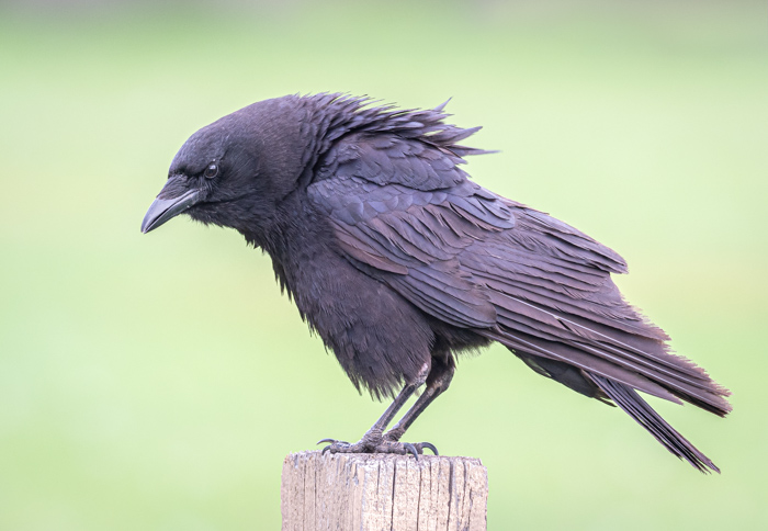 American Crow perched on a wooden pole