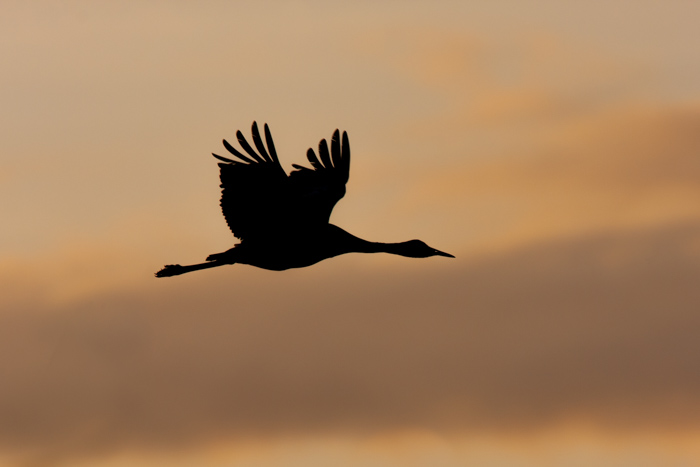 The silhouette of a crane in flight