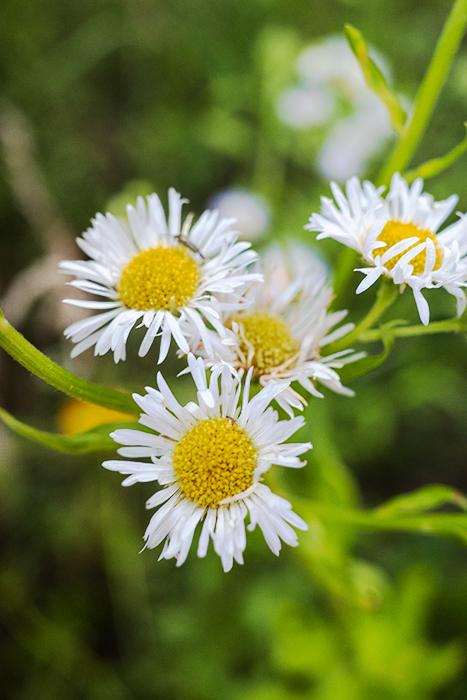 A close up of daisies