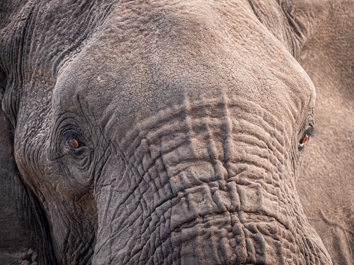 Close up wildlife photography of an elephants face