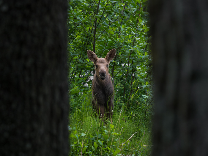Wildlife photography of a deer framed by trees