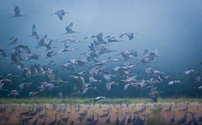 Big flock of birds in flight