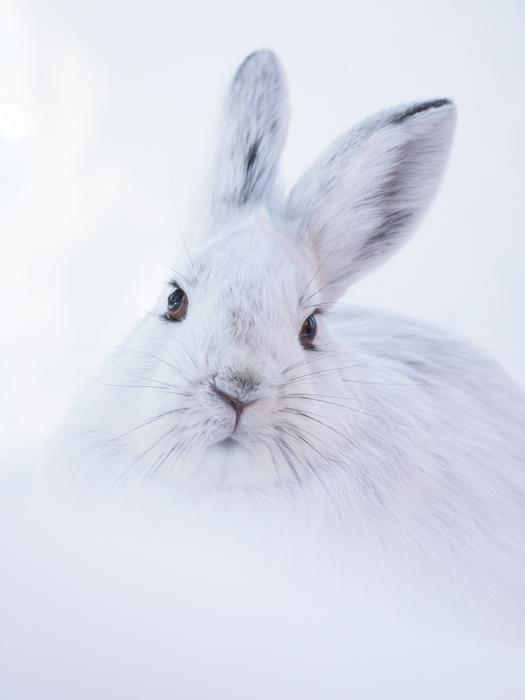 A white hare