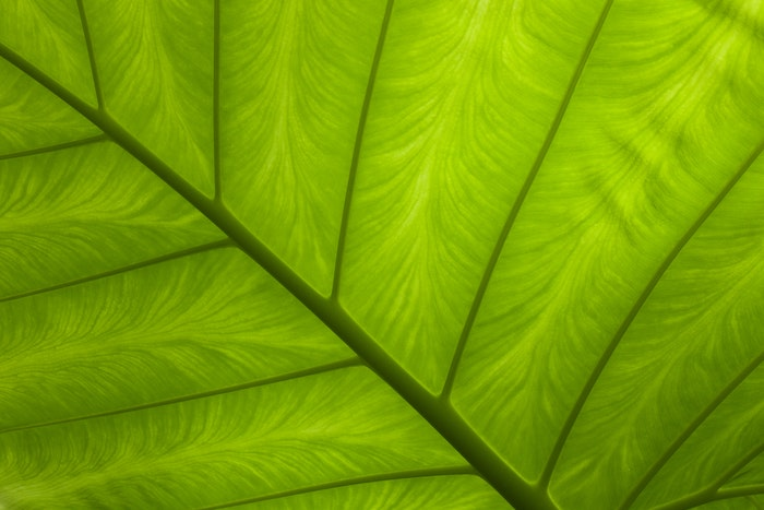 close-up photo of the veins of a leaf