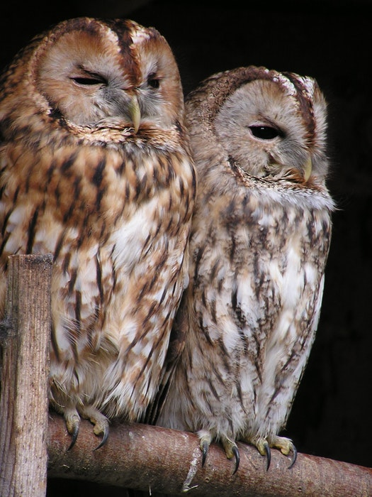 photo of two owls sitting on a branch