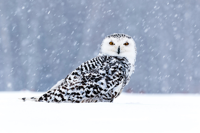 photo of an owl in the snow