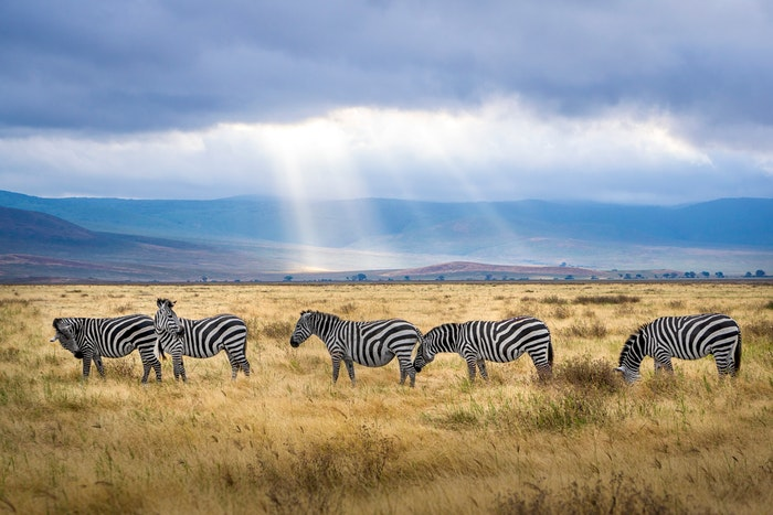 photo of a group of zebras on the savannah