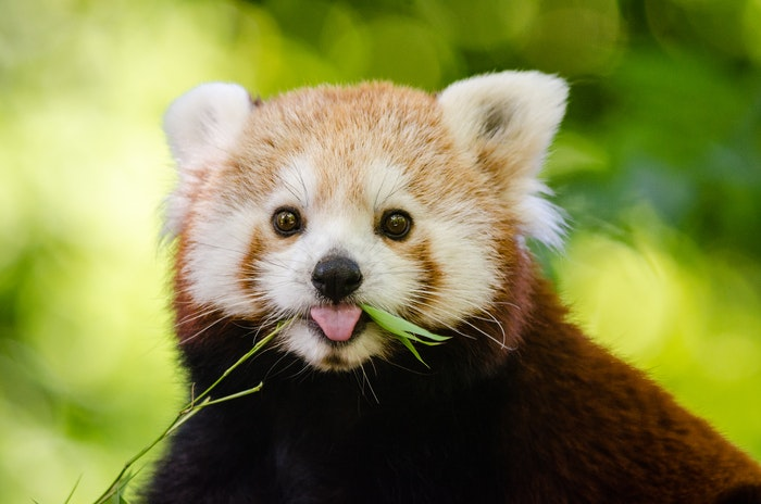 close-up photo of a red panda