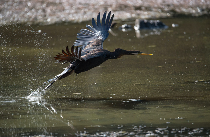 A large bird flying over a lake