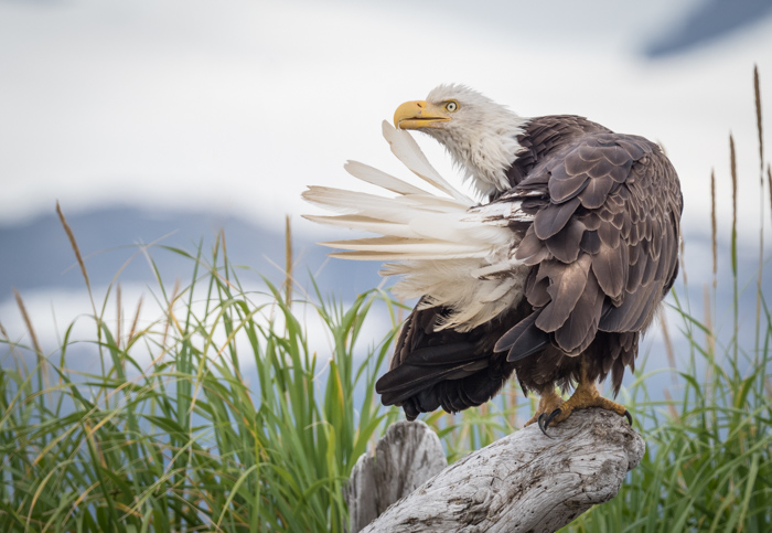 Picture of an eagle resting on a branch