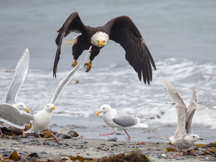 A bald eagle flying over a group of seagulls