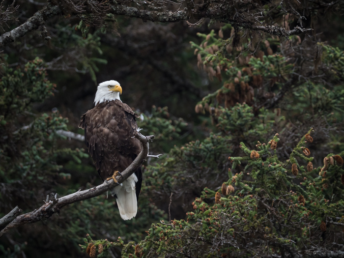 A bald eagle pic resting on a branch