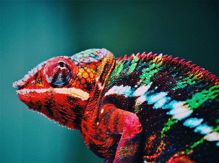 Um camaleão colorido