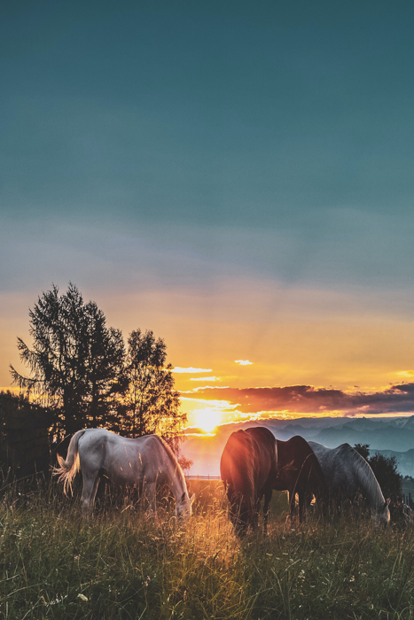 Horses grazing in a field at sunset