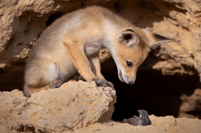 Foto engraçada de uma raposa e um rato do Comedy Wildlife Photography Awards