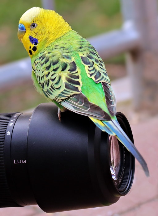 A yellow and green budgie perched on a camera