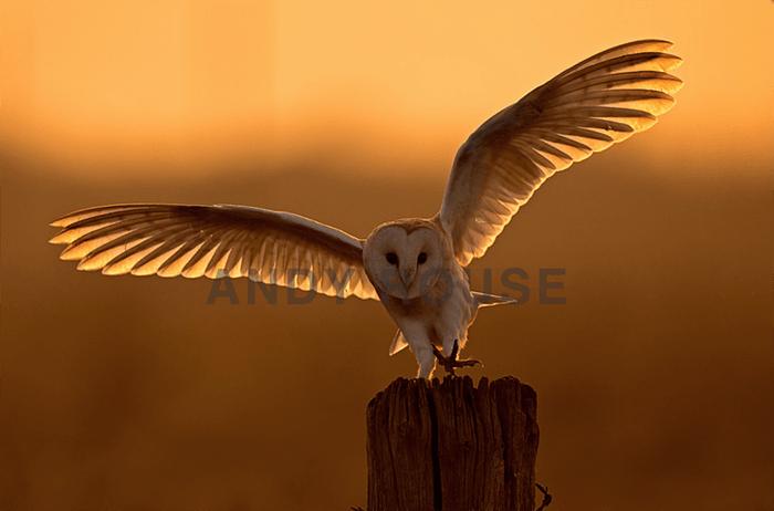 Foto incrível de coruja de Andy Rouse