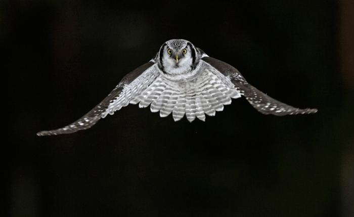Uma coruja em vôo