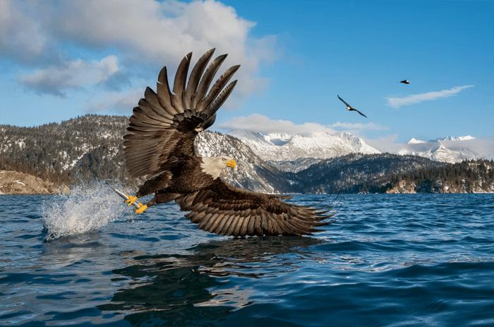 Fotografia da águia-careca perto de um lago