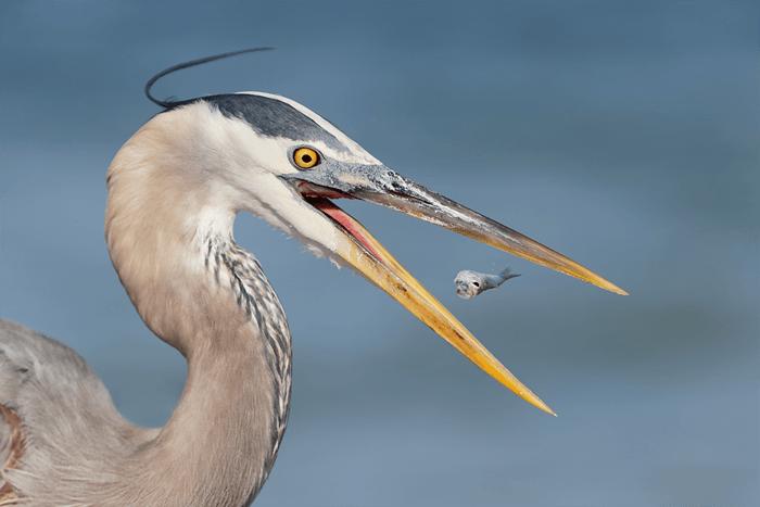 Close-up de uma garça comendo um peixe