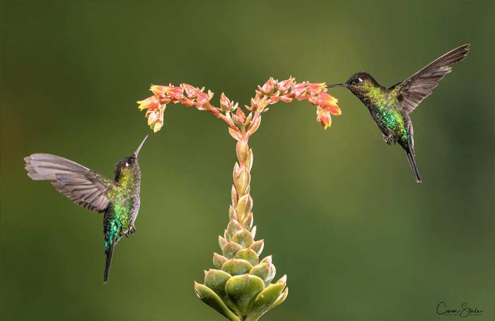 Foto de dois beija-flores ao lado de uma flor