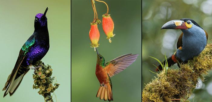 Triptych de fotografia de pássaros