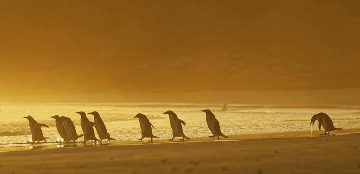 Foto engraçada de um pinguim vomitando do Comedy Wildlife Photography Awards