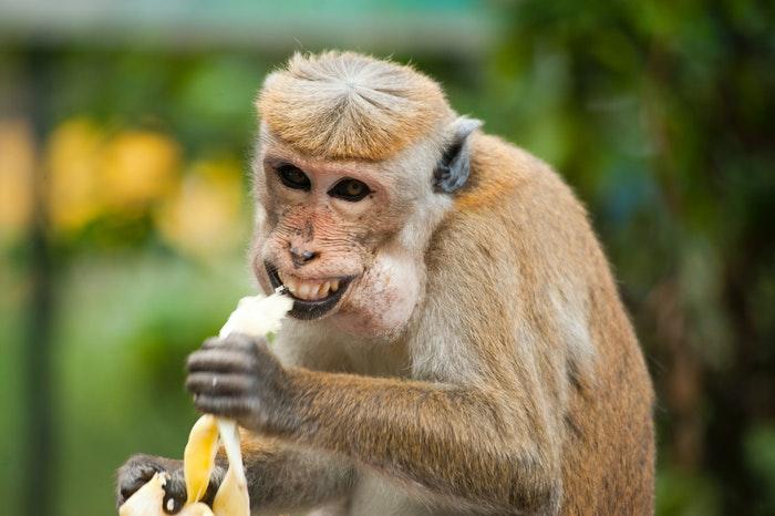 Funny photo of a monkey eating a banana