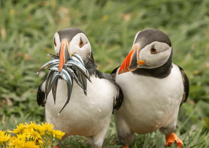 Foto engraçada de dois papagaios-do-mar do Comedy Wildlife Photography Awards