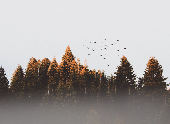 Birds in flight over a forest