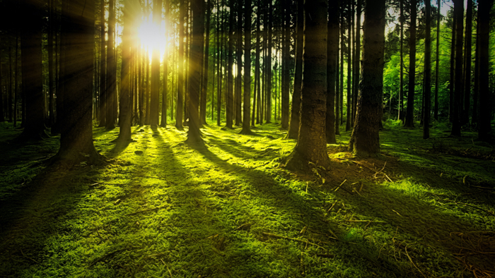 Light shining through the trees in the forest