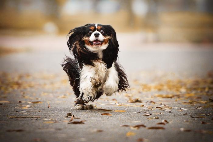 An action shot of a dog running