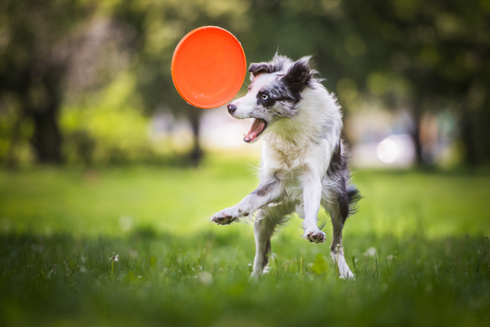 action shot of a border collie puppy chasing frisbee