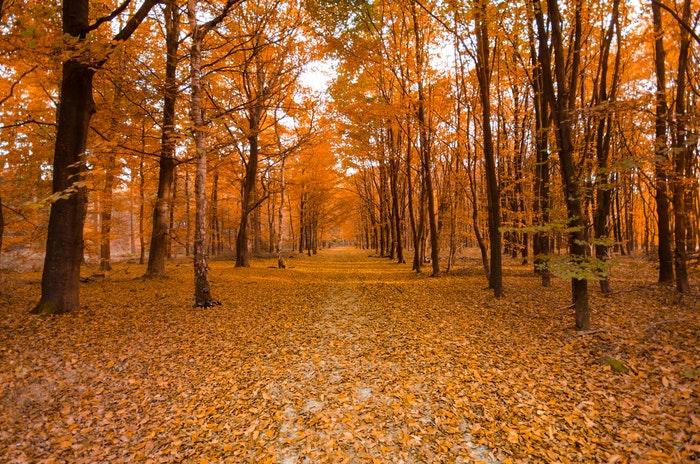 Uma floresta coberta de folhas de outono.