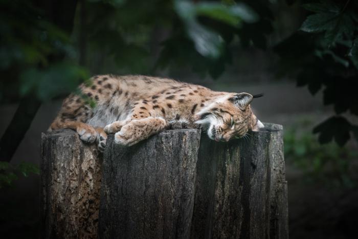 wild cat sleeping in a zoo