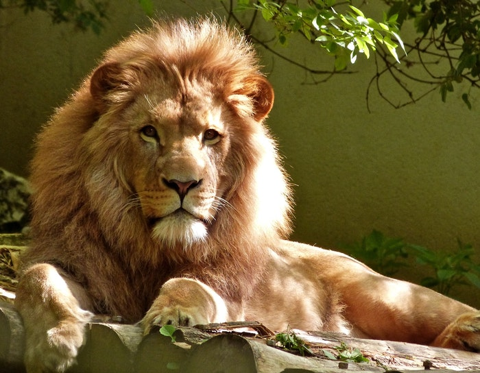 photo of a male lion lying on a rock in the zoo