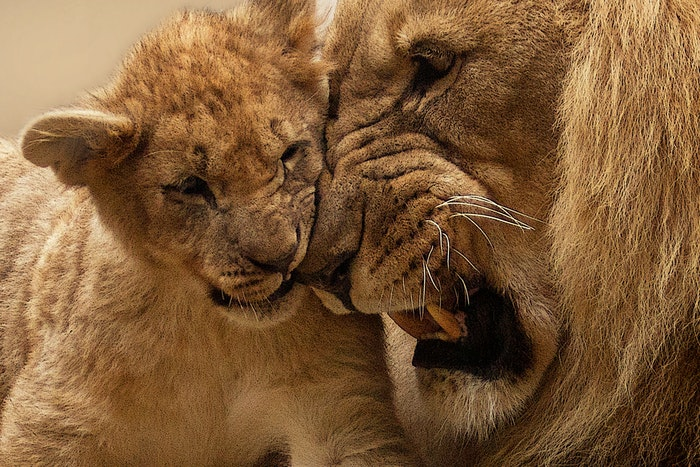 Zoo photo of a male lion and a lion cub pressing heads together