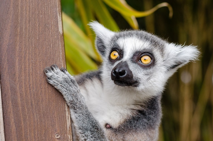 Zoo photography of a cute lemur