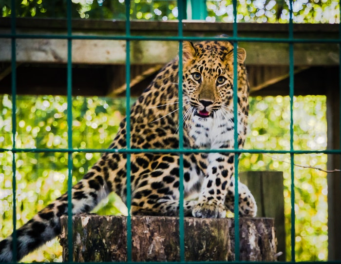 Zoo photography of a leopard in a cage