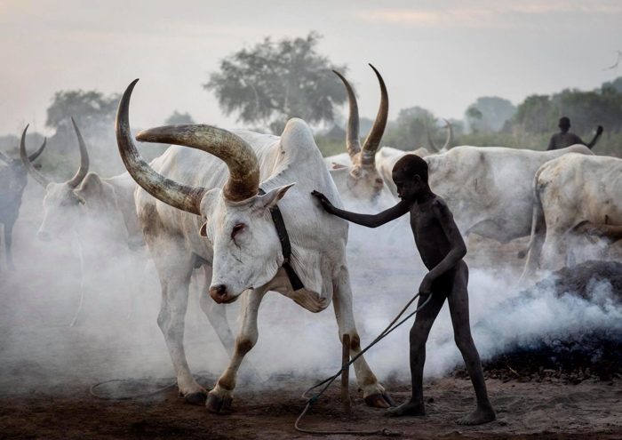 A little boy and a cattle