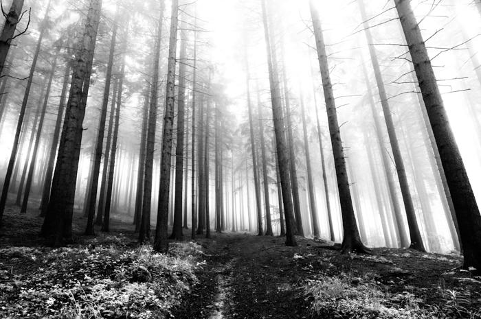 gambar hitam dan putih dari hutan jenis konifera di kabut pagi