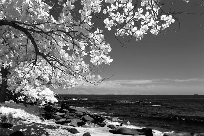 bidikan hitam putih pohon di tepi pantai yang dibuat dengan filter lensa inframerah