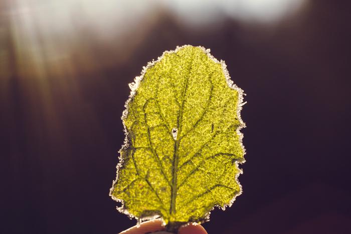 Uma imagem macro de uma mão segurando uma folha verde iluminada