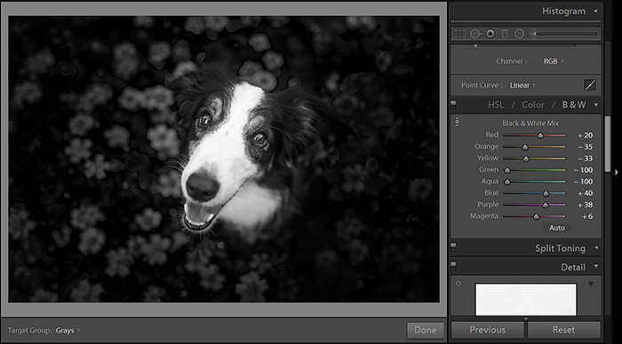 A screenshot of editing a dog portrait in Lightroom