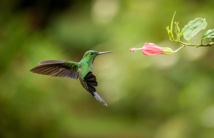 uma foto de um colibri verde pairando ao lado de uma flor rosa