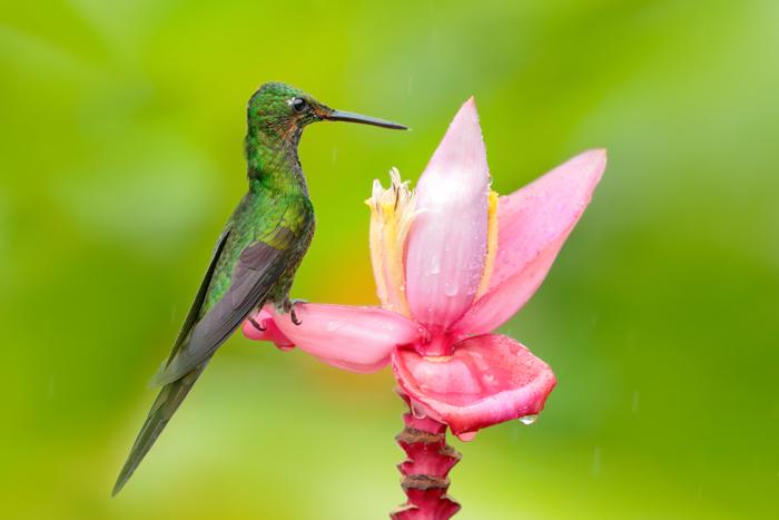 uma foto de um colibri verde empoleirado em uma flor rosa