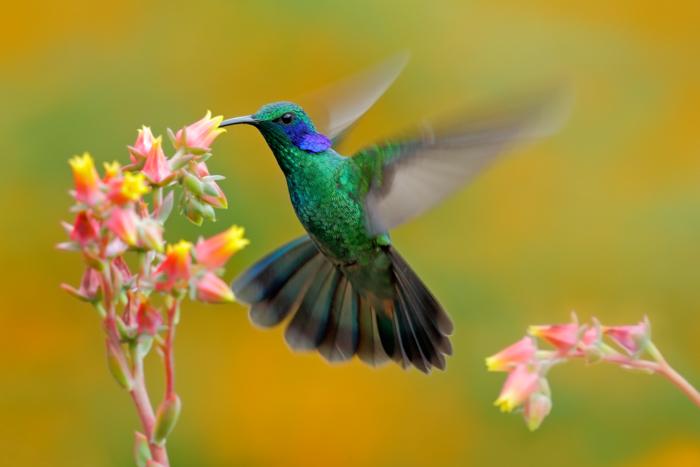 Uma foto de um beija-flor verde e azul em voo se alimentando de uma flor rosa e amarela