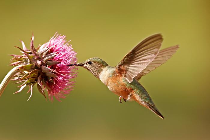 imagem de um colibri se alimentando de uma flor rosa