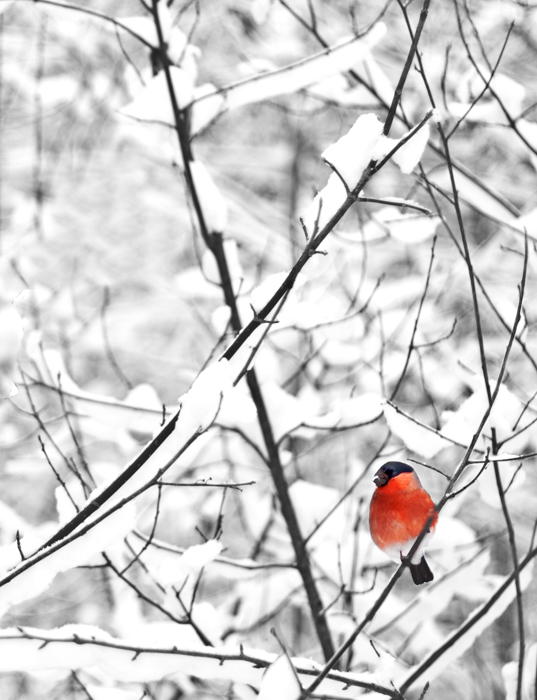 Winter photography of a robin in a snowy tree
