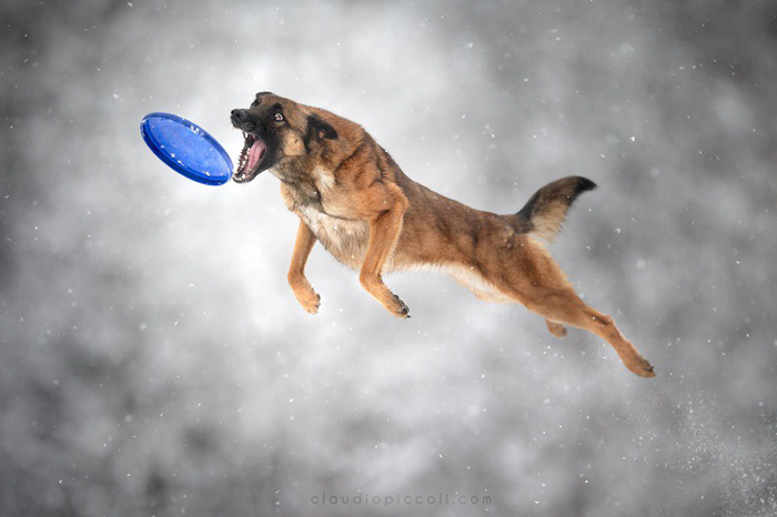 Photo of a dog catching a Frisbee